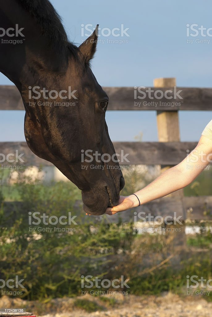 Horse Taking Treat From Trainer's Hand royalty-free stock photo