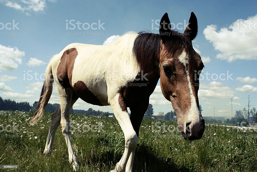 Horse Trotting in a Field royalty-free stock photo