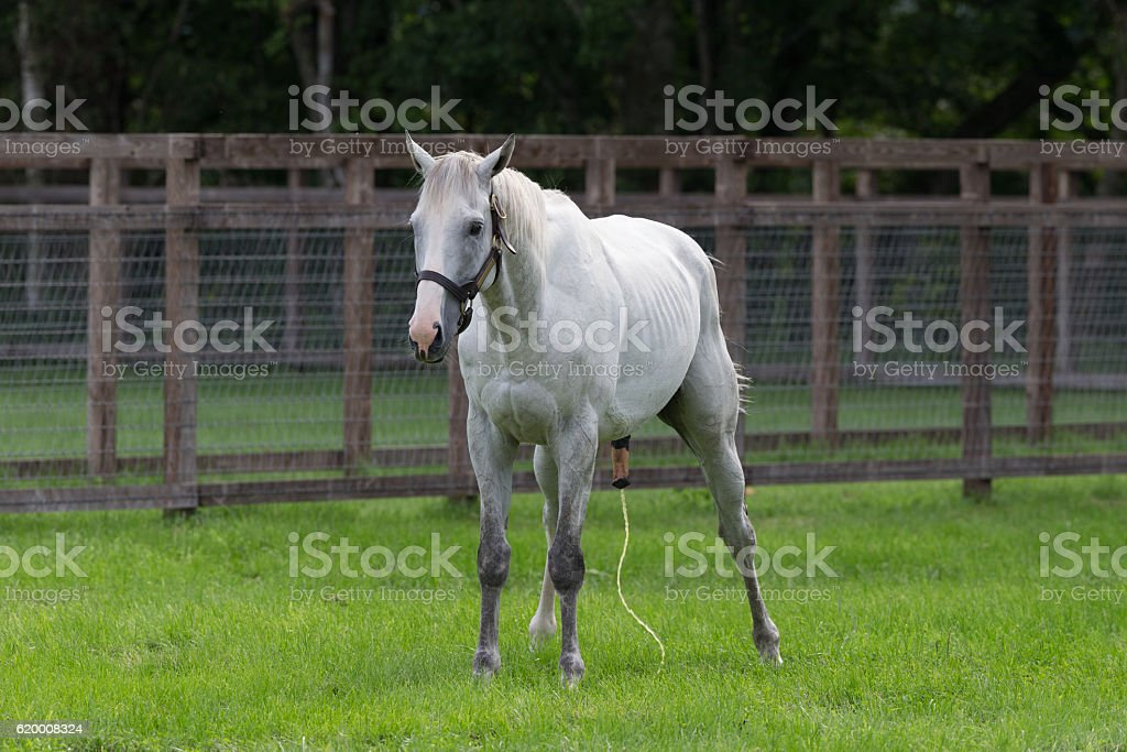 Horse urinating stock photo