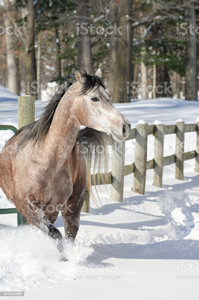 Horse Walking in Deep Snow with Fence and Woods Background stock photo
