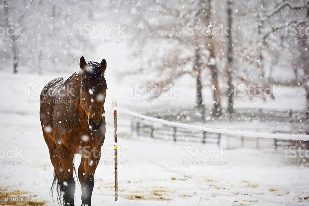 Horse walking in Snow royalty-free stock photo