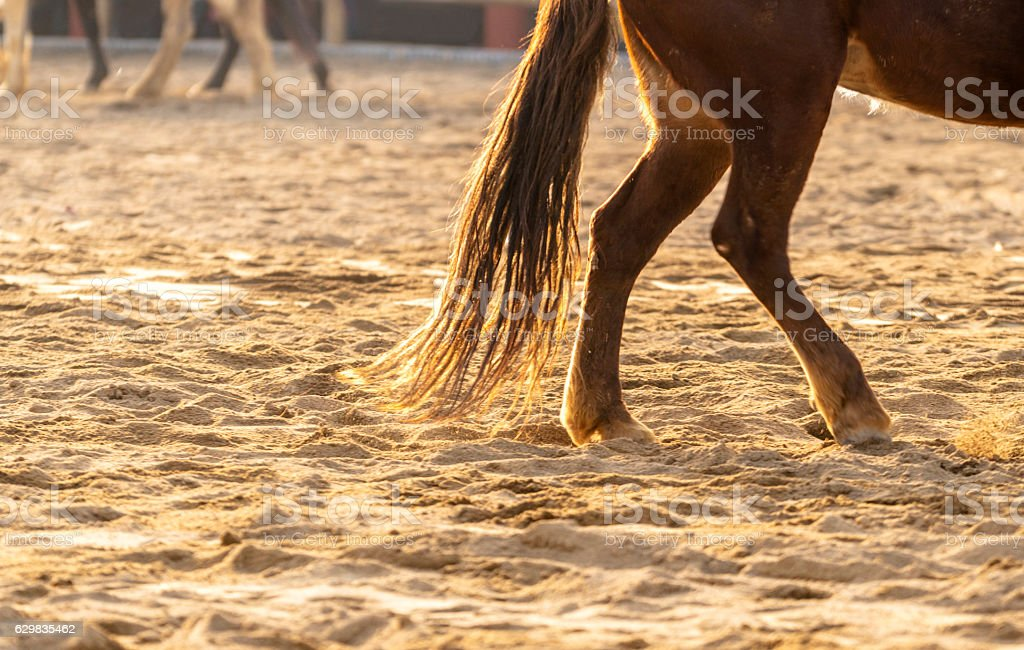 horse walking on sands stock photo