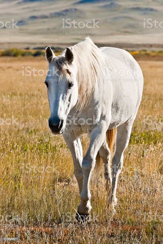 Horse Walking on the Plains of Montana stock photo