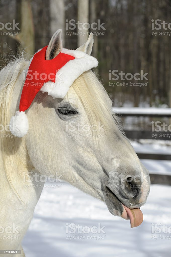 Horse Wearing Christmas Santa Hat Sticking Out Tongue Humbug royalty-free stock photo