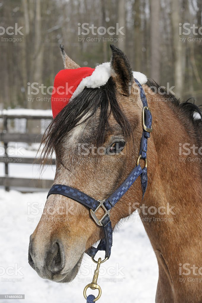 Horse Wearing Santa Hat Outdoors in Snow, Christmas Filly stock photo