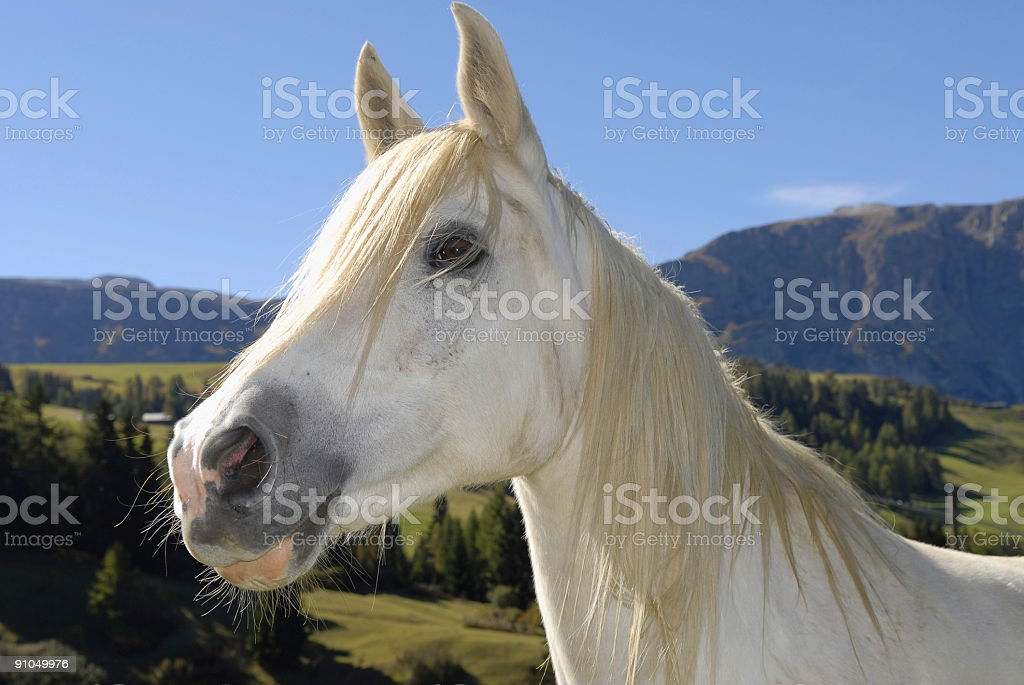 horse white animal head royalty-free stock photo