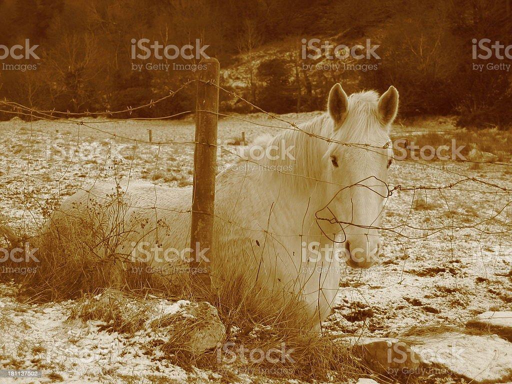 HorseA - Sepia tone royalty-free stock photo