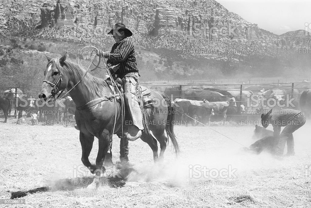 Horseback Cowboy Lassoing Cattle stock photo