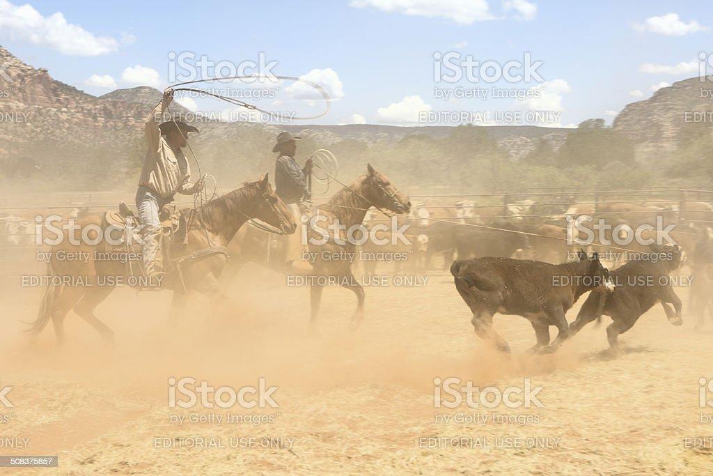 Horseback Cowboys Lassoing Branding Cattle stock photo