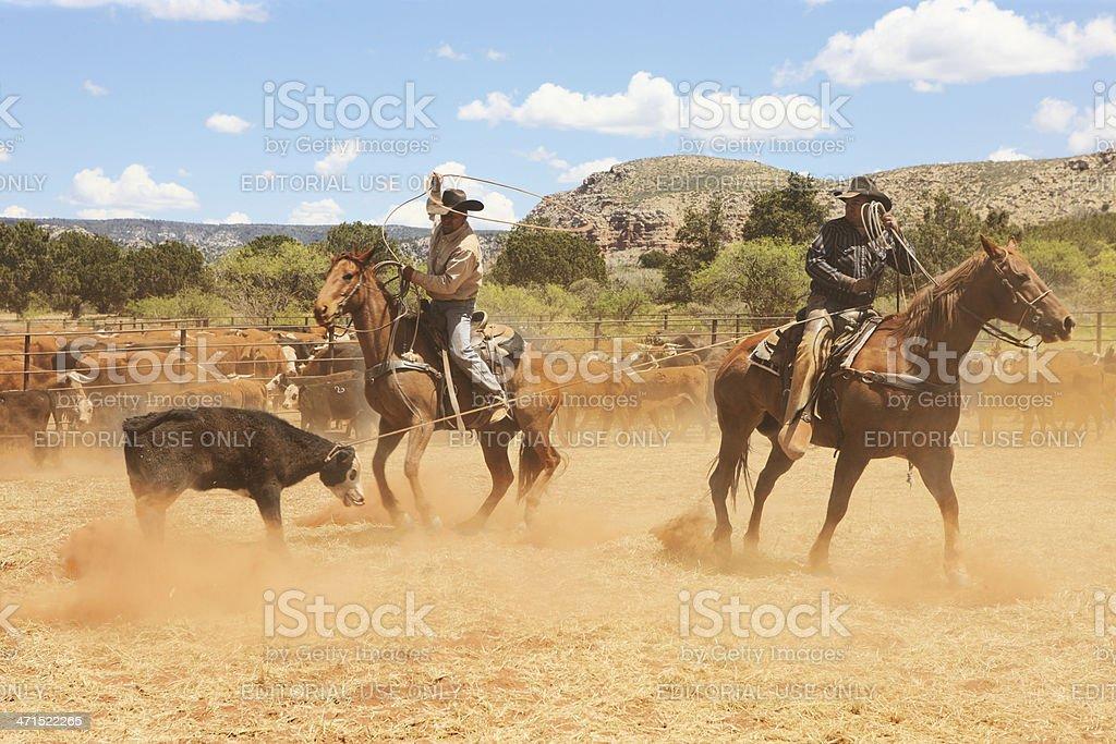 Horseback Cowboys Lassoing Cattle Herd stock photo