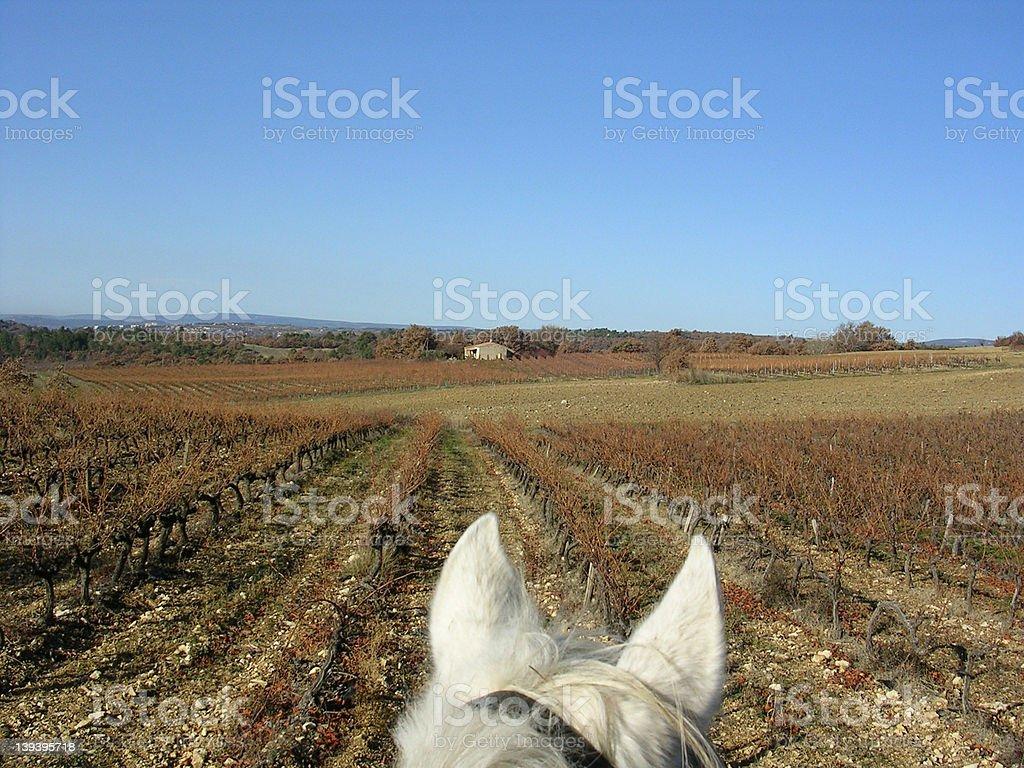 Horseback in vineyard stock photo
