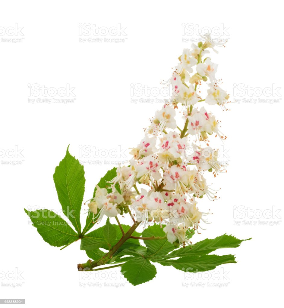 Horse-chestnut (Aesculus hippocastanum, Conker tree) flowers isolated. without shadow stock photo