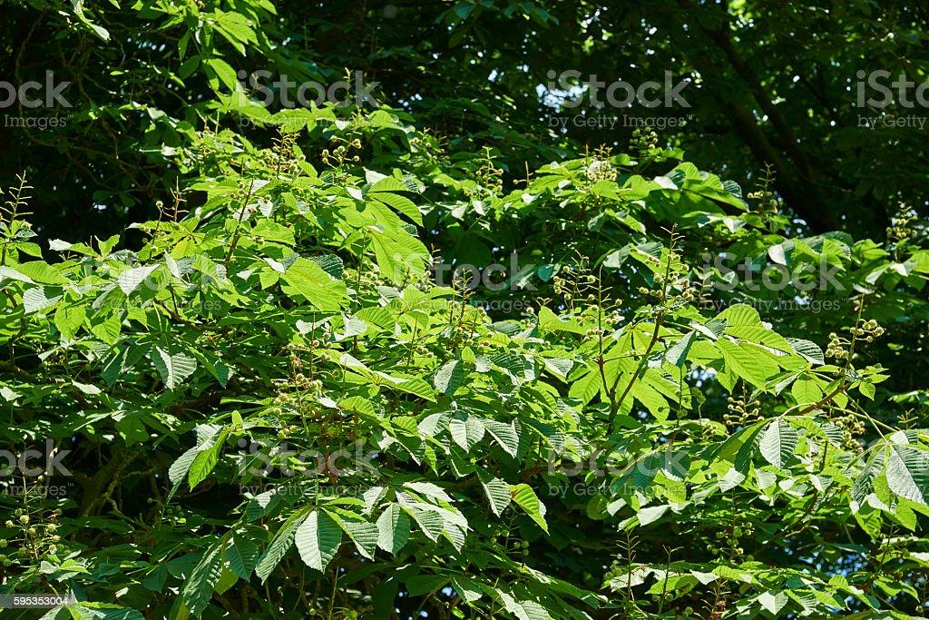 Horse-chestnut stock photo