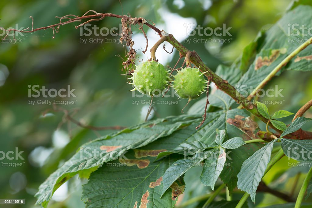 Horse-chestnut twig, Aesculus hippocastanum with fruits stock photo