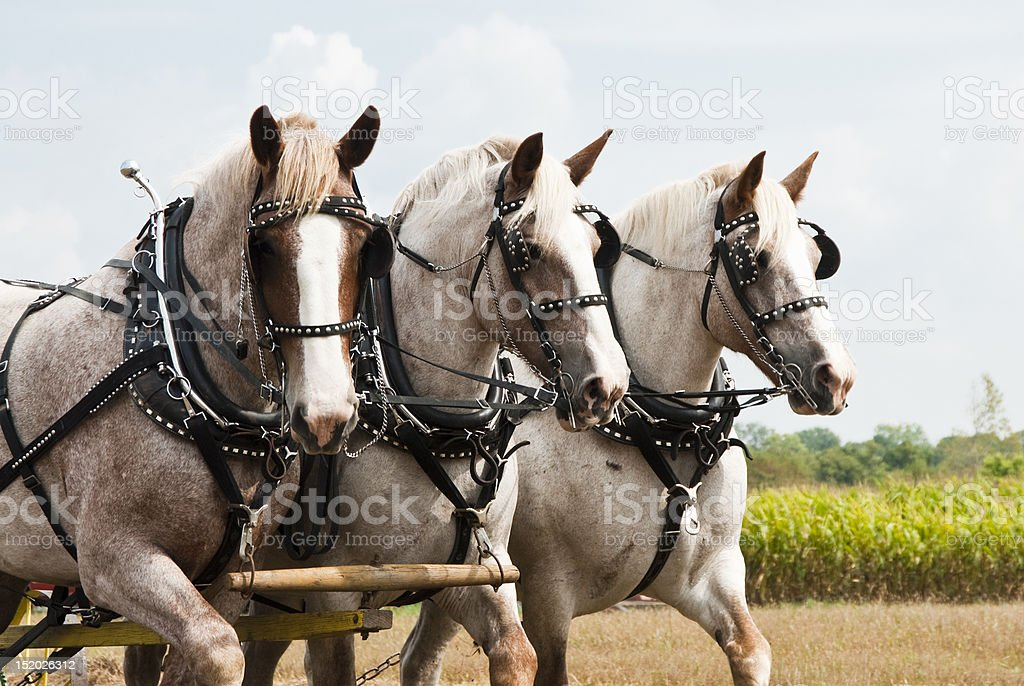 horse-drawn farming demonstrations royalty-free stock photo