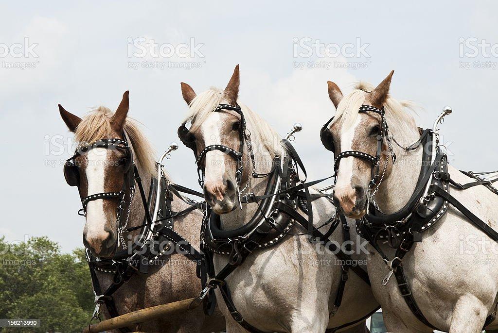 horse-drawn farming demonstrations royalty-free stock photo
