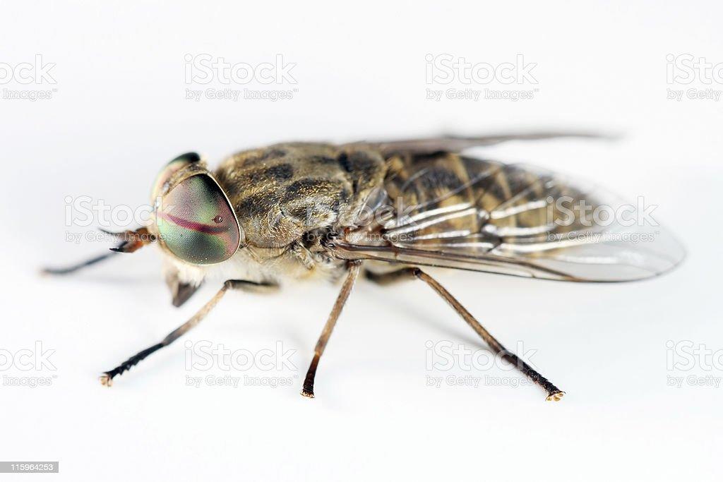 Horsefly 03 royalty-free stock photo
