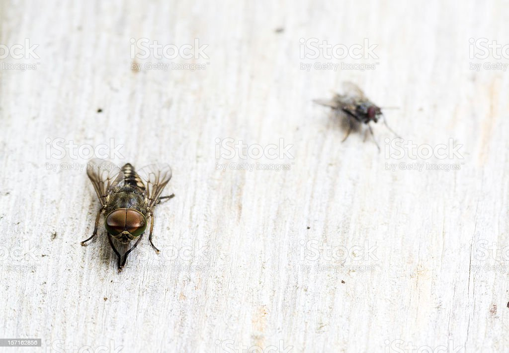 Horsefly and normal fly royalty-free stock photo