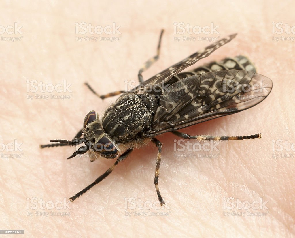 horsefly bloodsucking stock photo