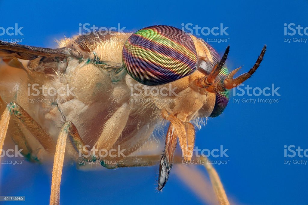 Horsefly in blue background stock photo