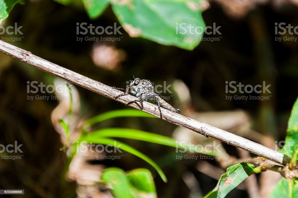 Horsefly insect on plant twig stock photo