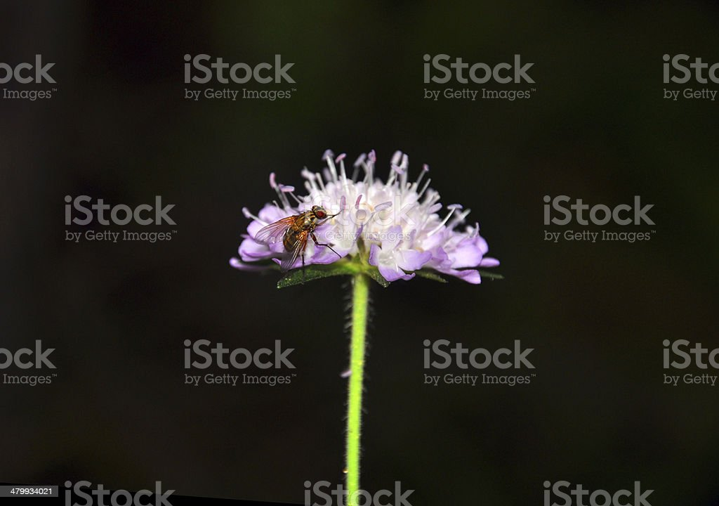 Horsefly on a purple flower royalty-free stock photo