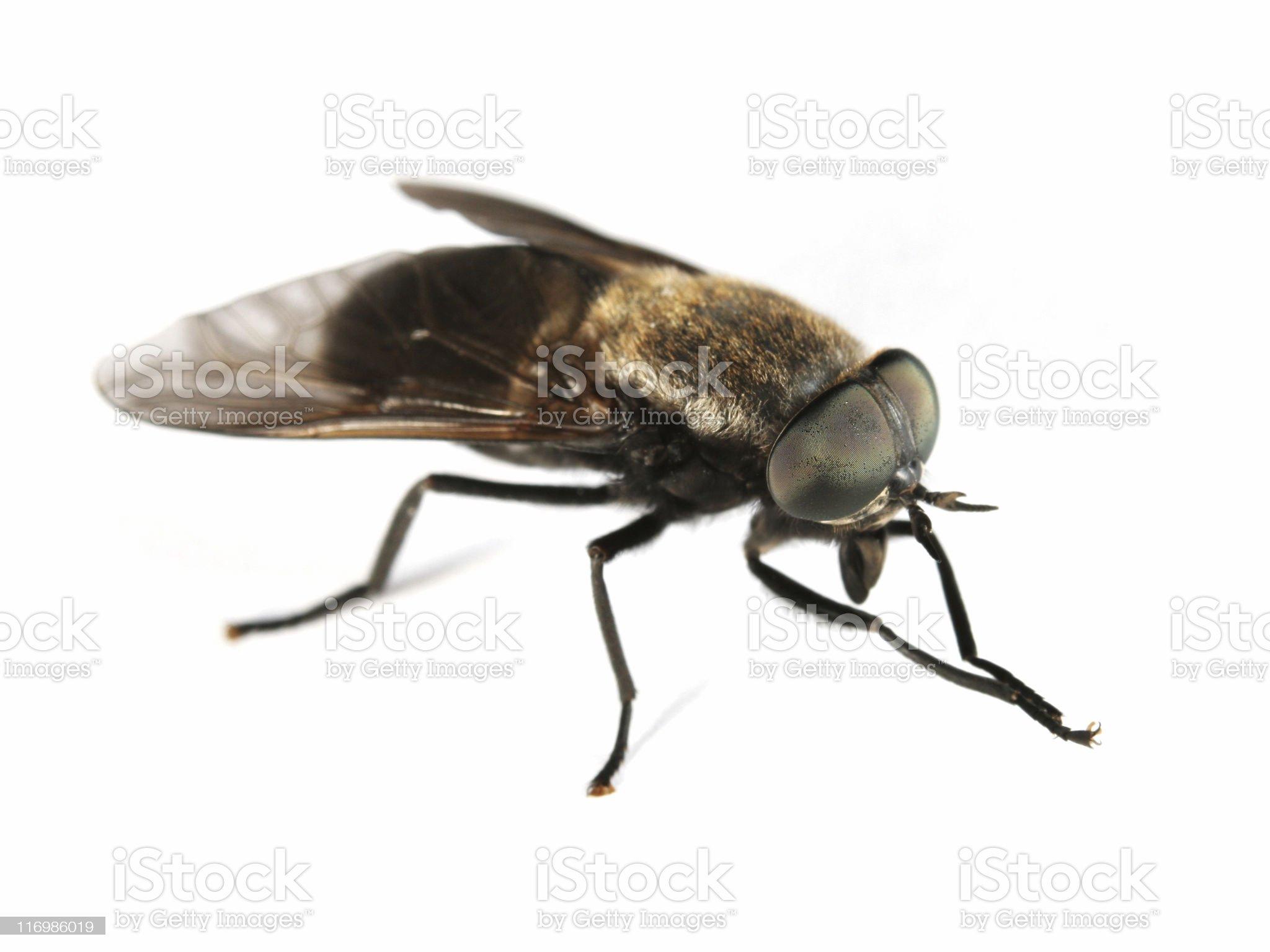 Horsefly royalty-free stock photo