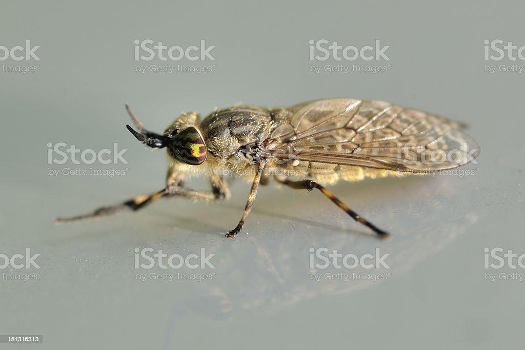 Horse-fly royalty-free stock photo