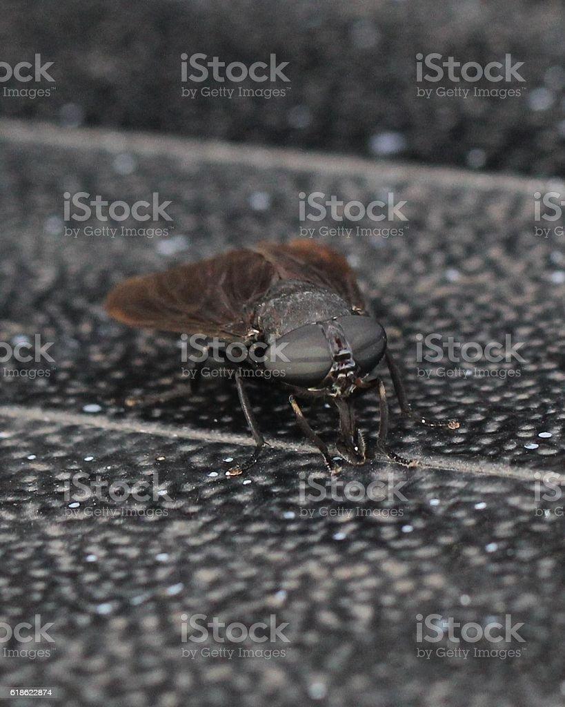 horsefly stock photo