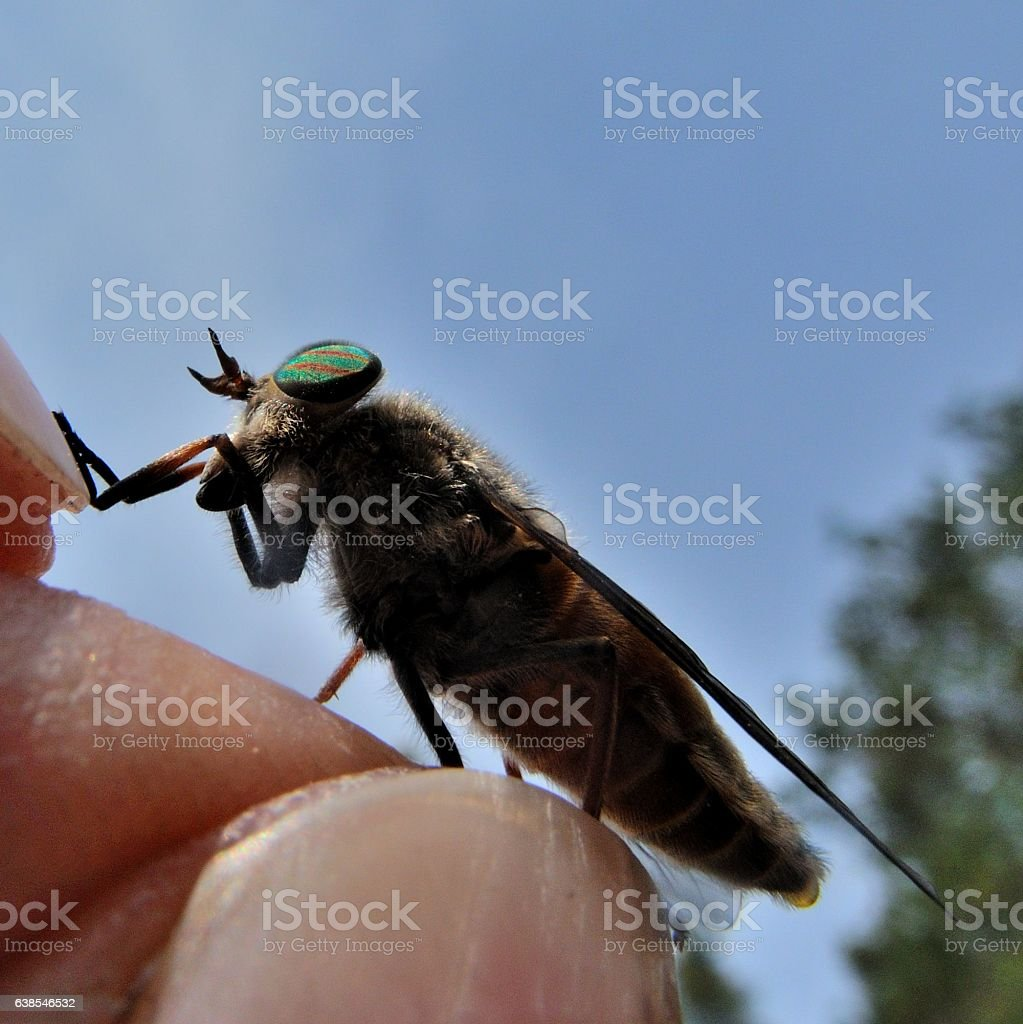 Horse-fly stock photo