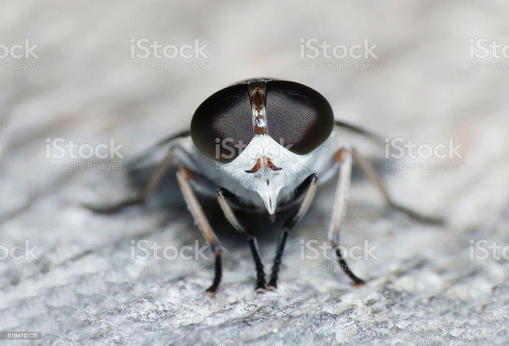 Horsefly Tabanus sudeticus stock photo