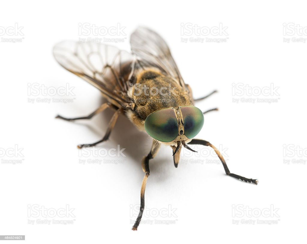 Horsefly viewed from up high, Tabanus, isolated on white stock photo