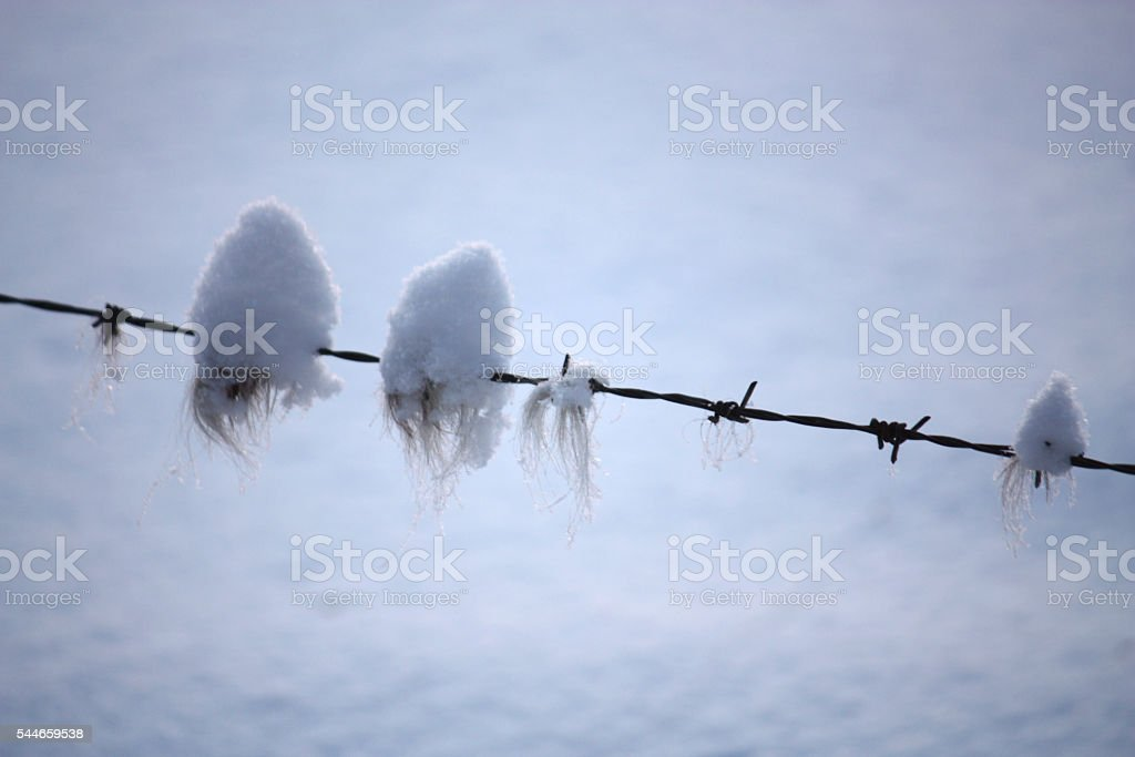 horsehair under snow, on barbed wire stock photo