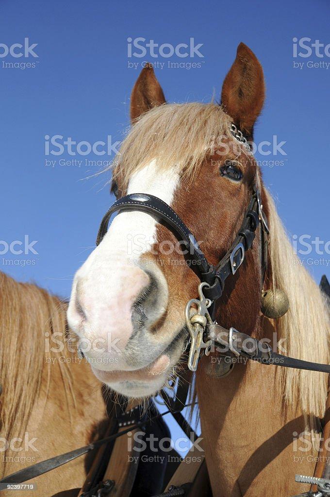 Horsehead royalty-free stock photo