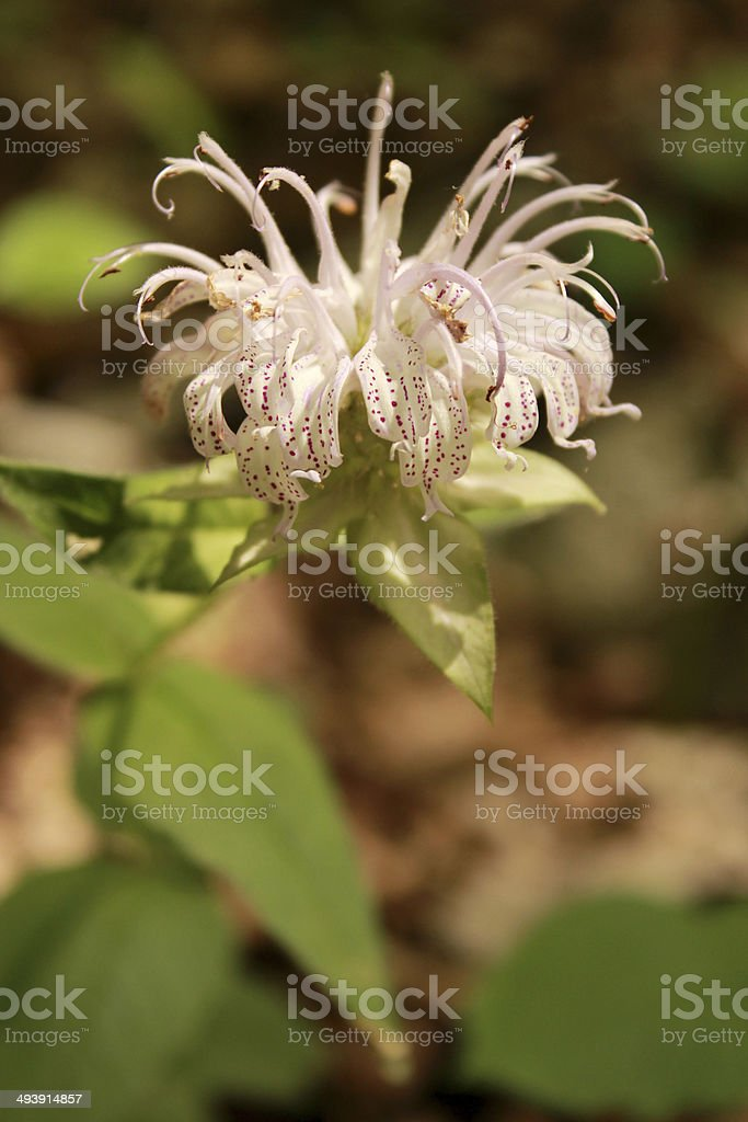 Horsemint wildflower on forest floor stock photo