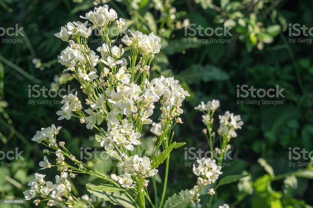 Horseradish flower foto de stock royalty-free