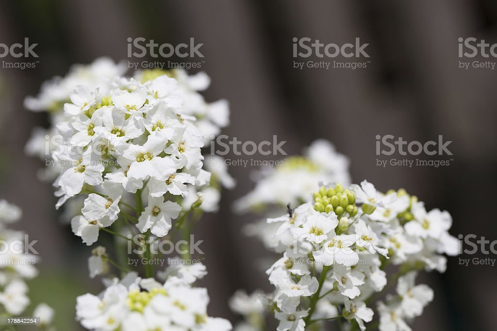 Horseradish flowers stock photo