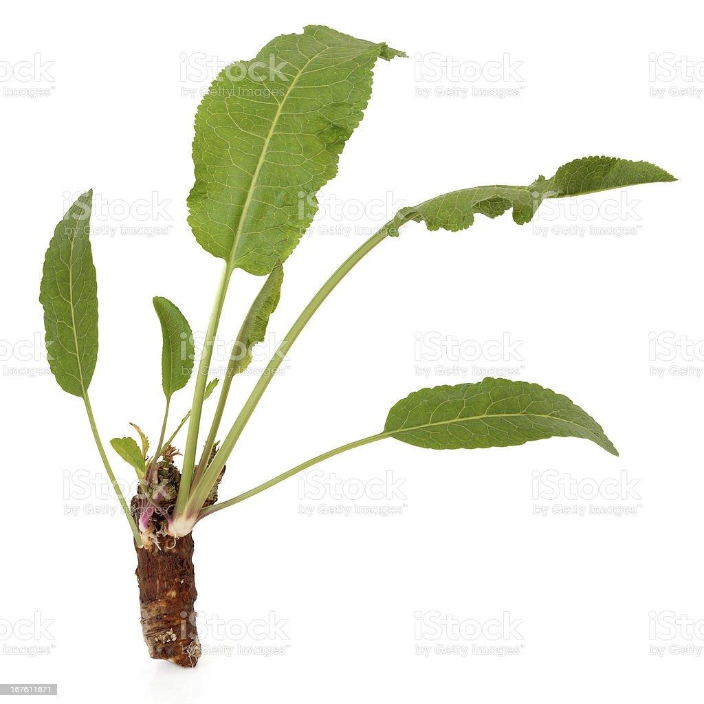 Horseradish Plant stock photo