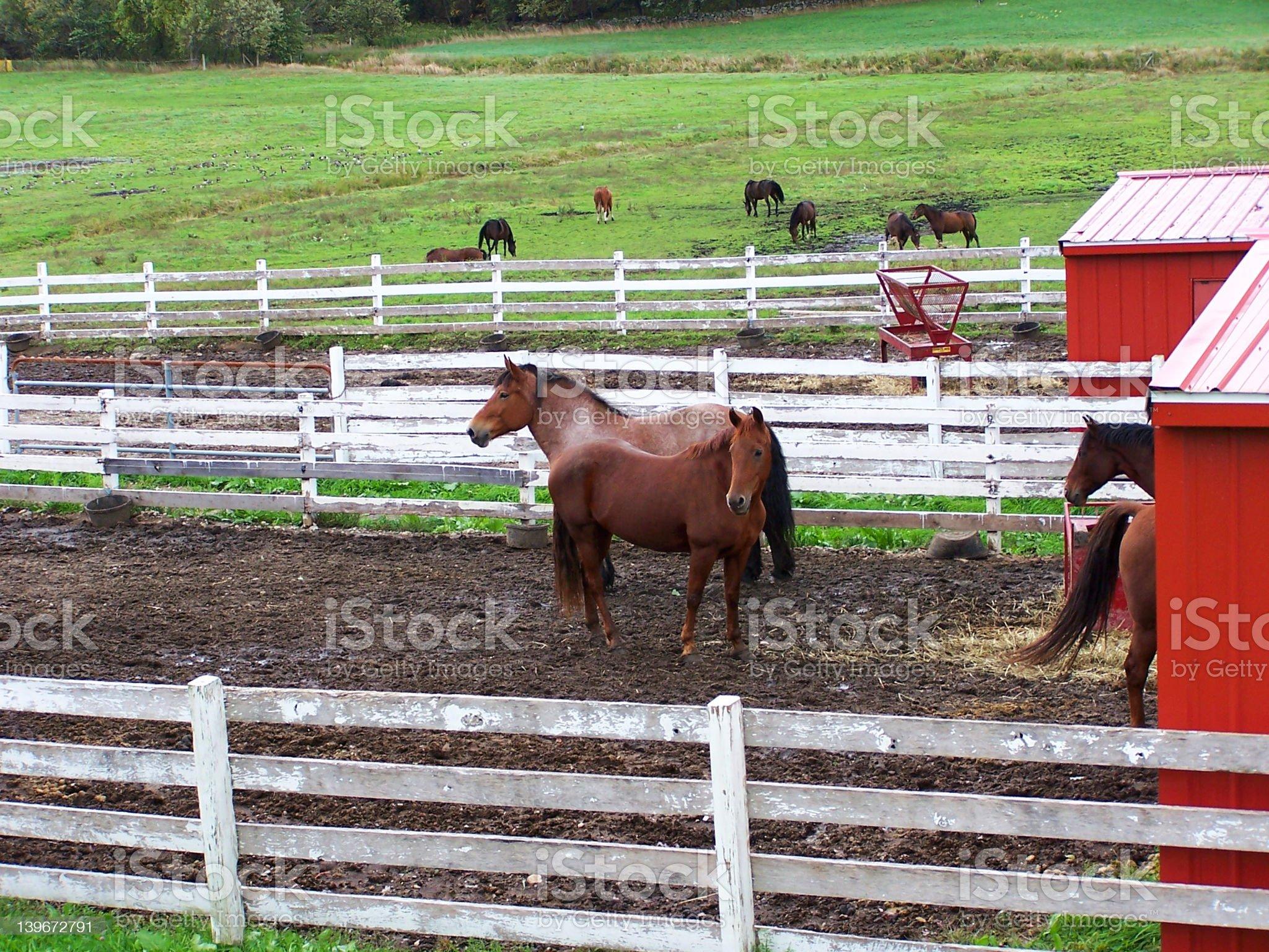 Horses 2 royalty-free stock photo
