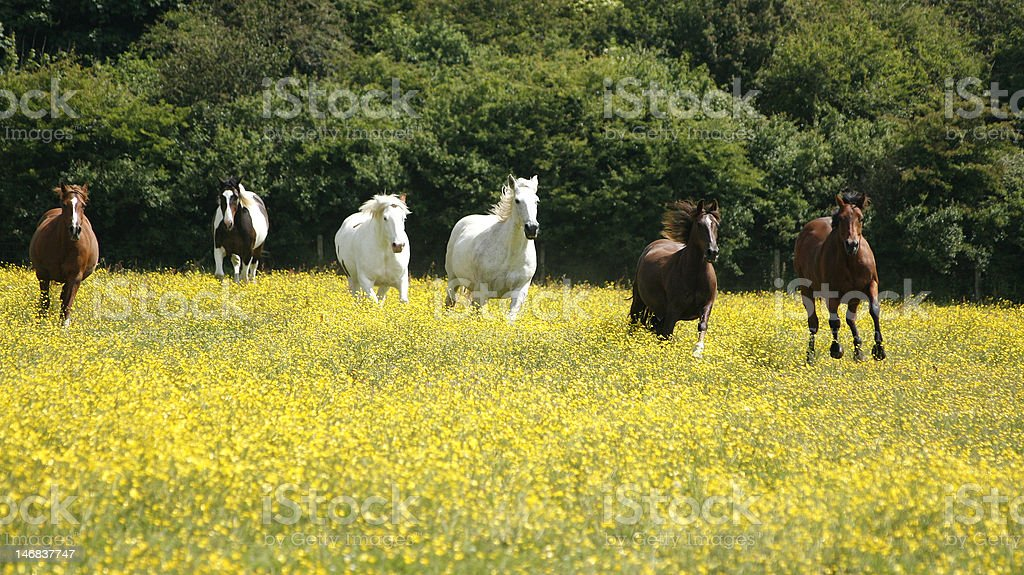 Horses and Buttercups stock photo