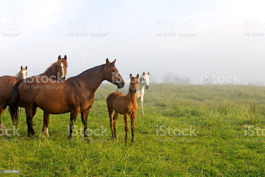 Horses and Foals in Spring Pasture stock photo