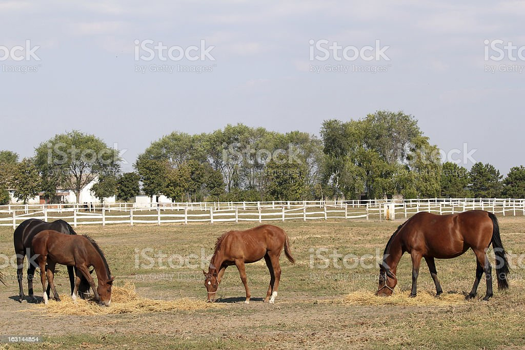 horses and foals on the farm royalty-free stock photo