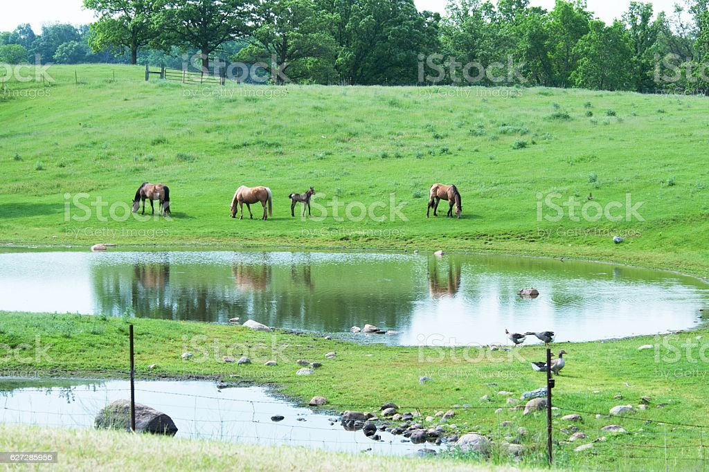 Horses and Geese stock photo