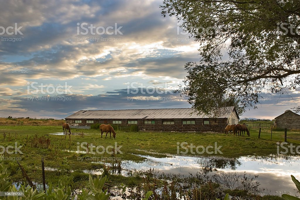 Horses and the old barn stock photo