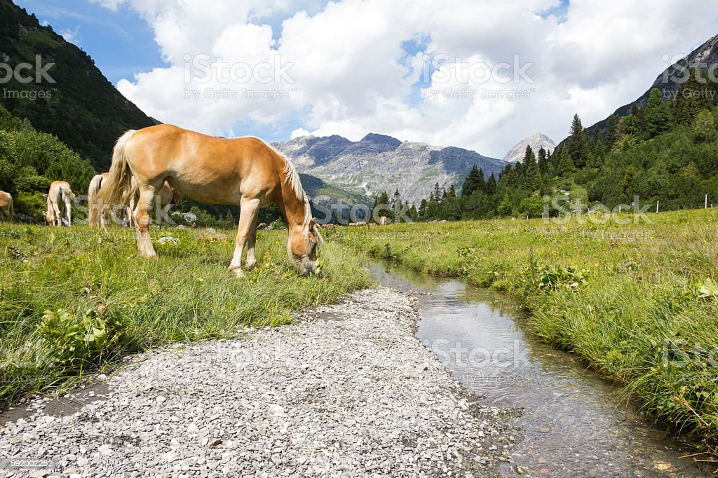 Horses At Alp Formarin In Vorarlberg Austria stock photo