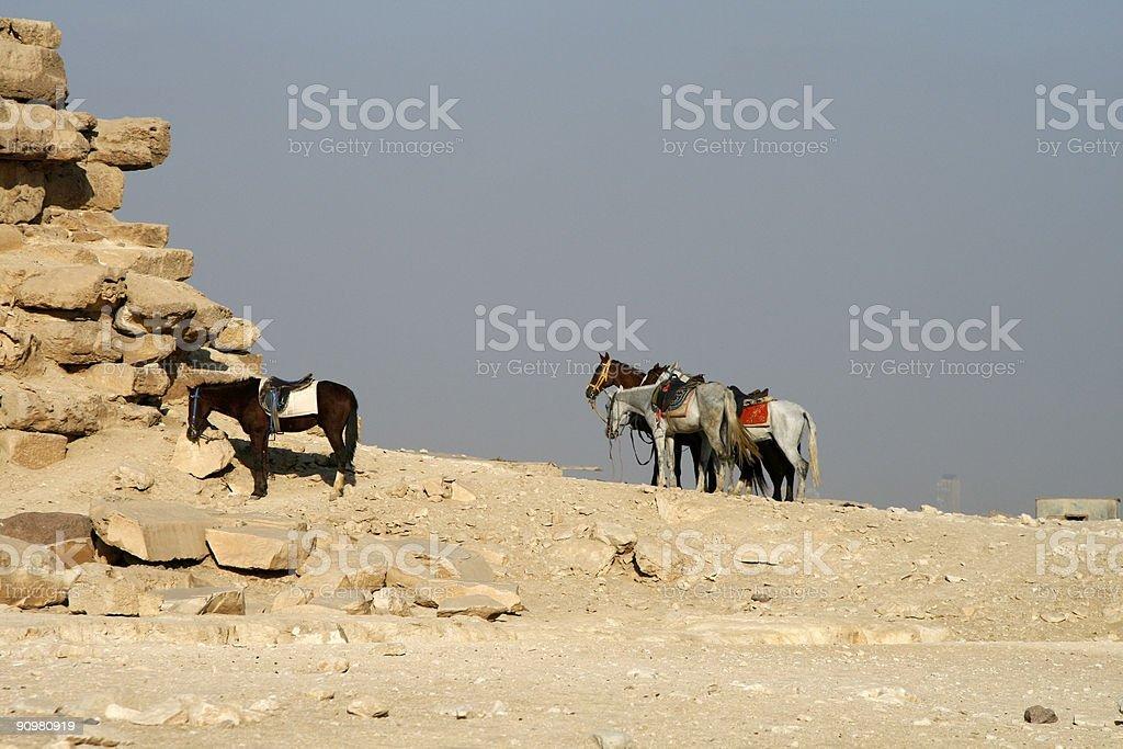 Horses at Giza royalty-free stock photo