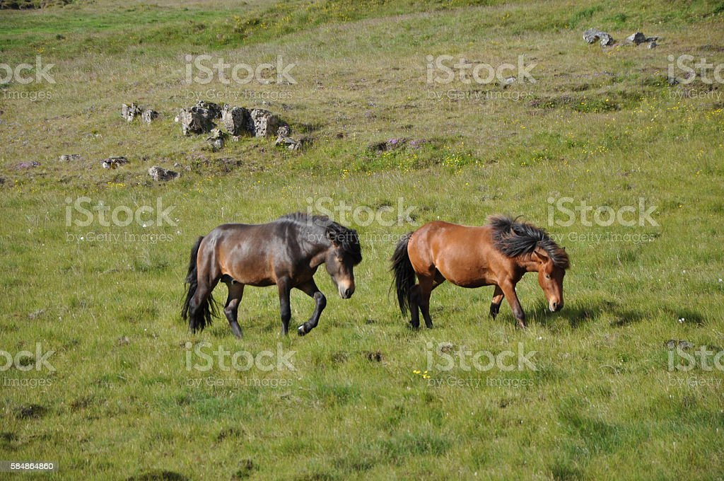 Horses at Iceland stock photo