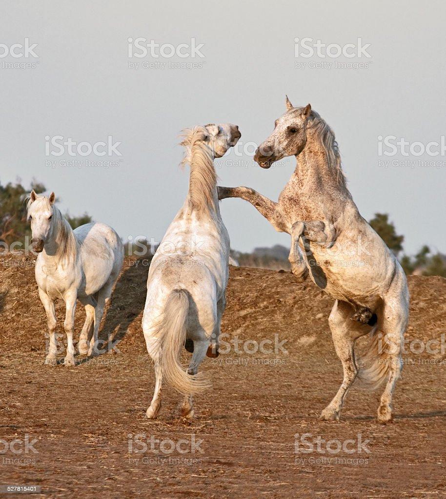 Horses at morning stock photo