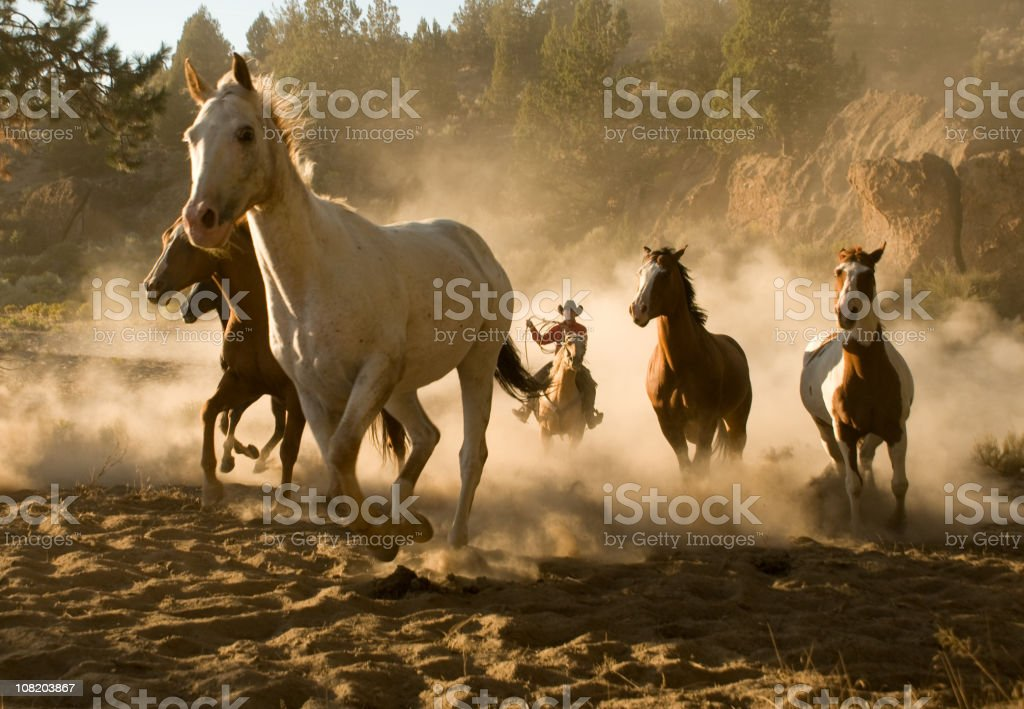 Horses Being Chases by Cowboy Through Desert royalty-free stock photo