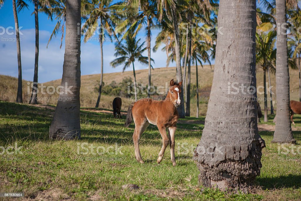 Horses between palm trees on Easter Island, Chile stock photo